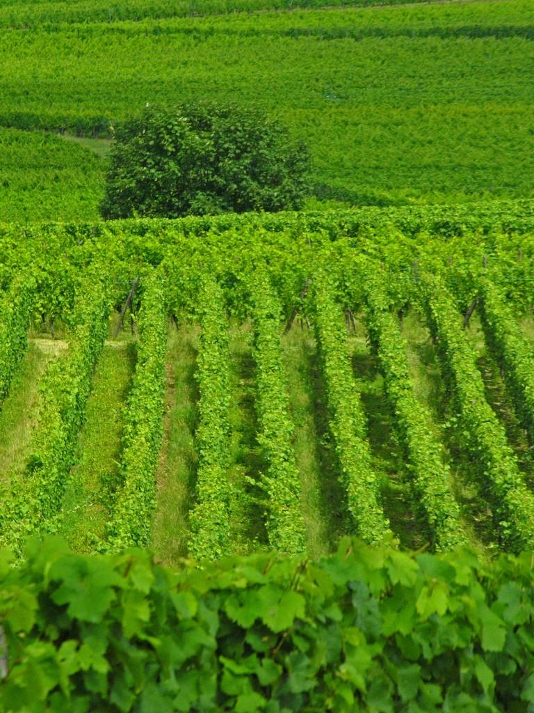 Les pieds dans la vigne